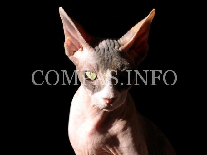 Sphynx_cat_1