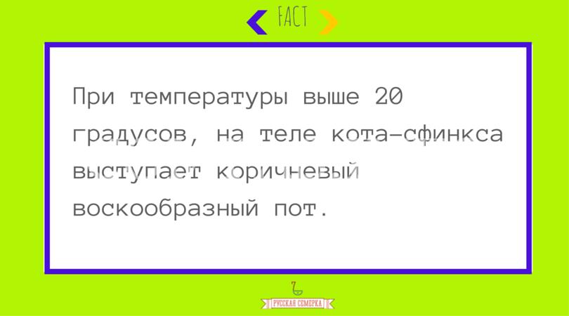 Sphynx_cat_2