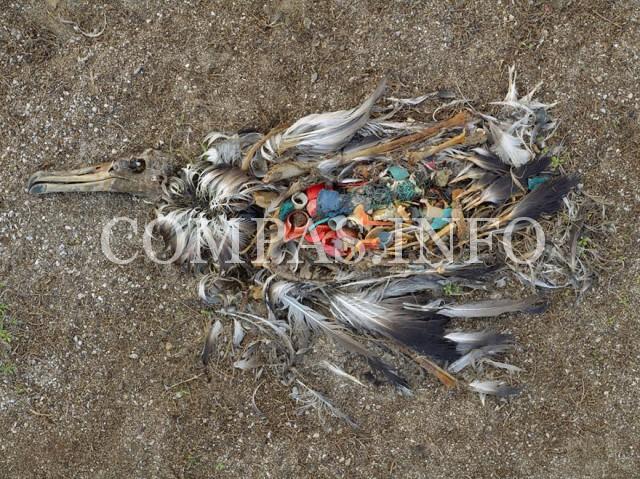 Острова Мидуэй (Северная часть Тихого океана). Альбатрос, погибший от чрезмерного поглощения пластика