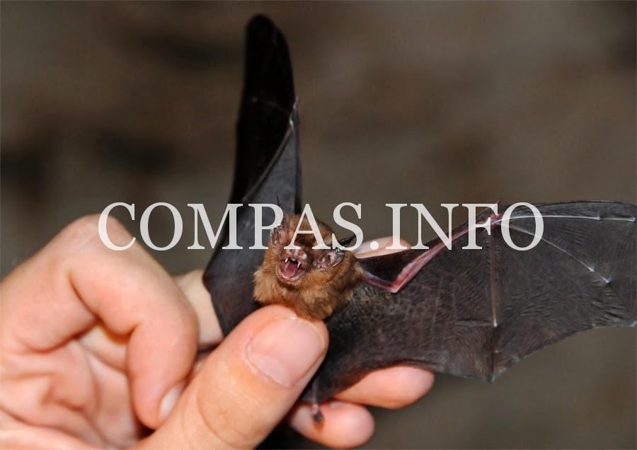 Kitti-Hog-nosed-Bats-Kanchanaburi