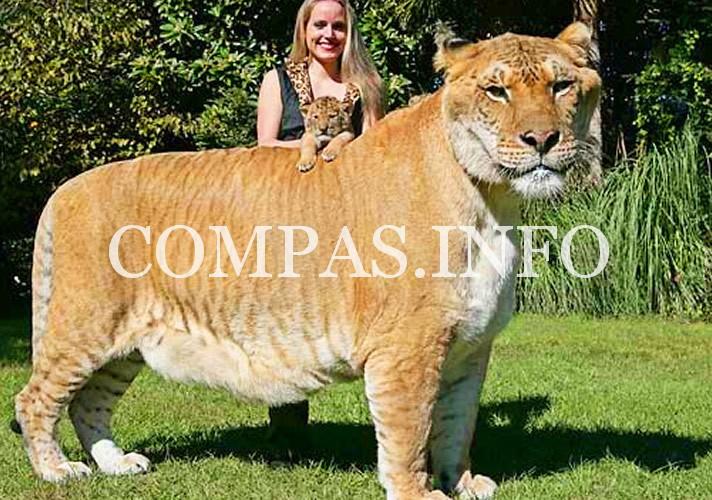 liger-hercules-moksha-bybee-liger-cub-aries
