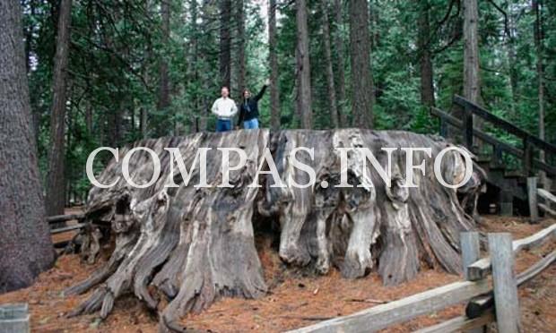 Интересные факты о деревьях4
