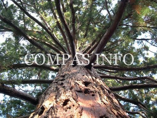Интересные факты о деревьях5