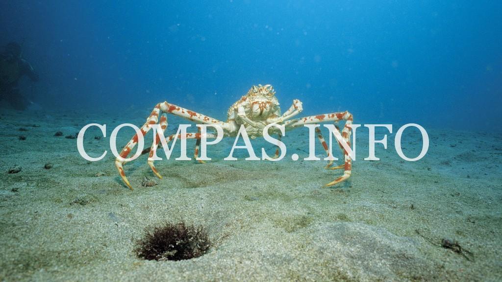 Japanese Spider Crab (Macrocheira kaempferi) on ocean floor, Japan