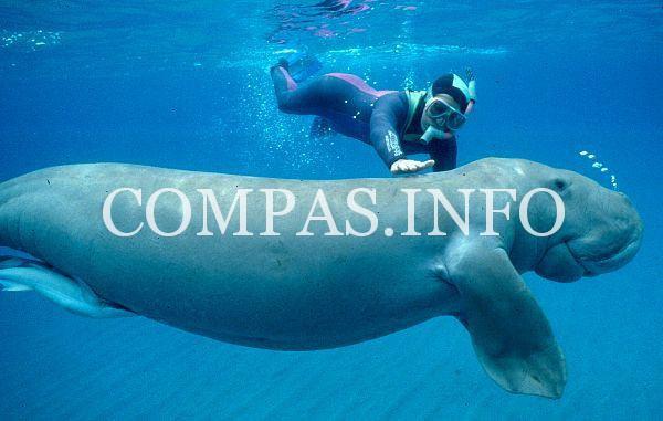 Dugong_dugon_1