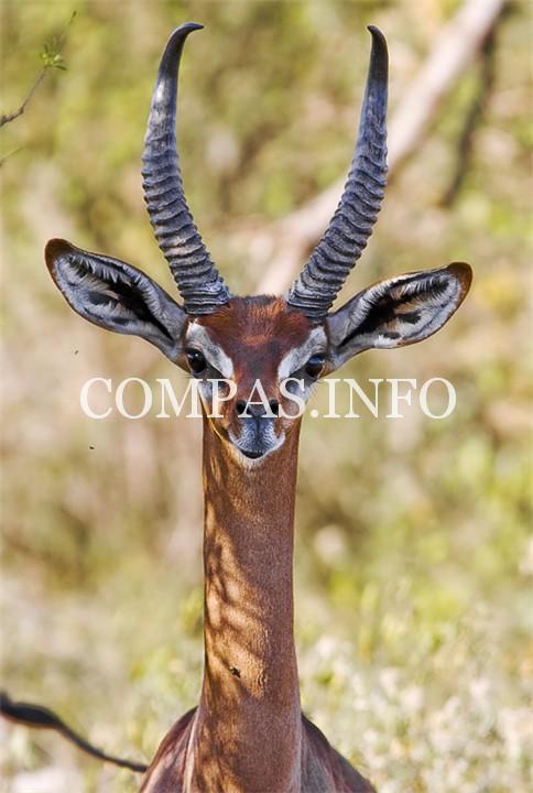 Gerenuk-zhirafovaya-gazel--afrikanskaya-antilopa