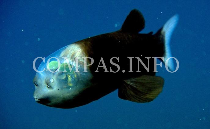 Рыба с прозрачной головой1