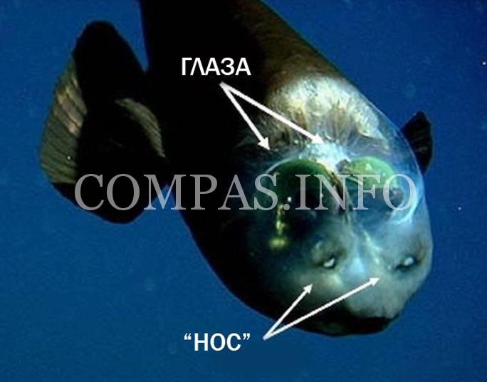 Рыба с прозрачной головой3