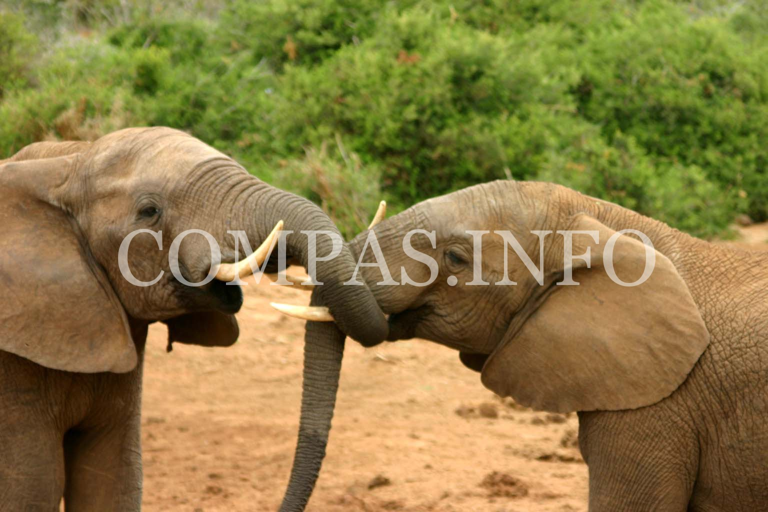 Elephants_mating_ritual_2
