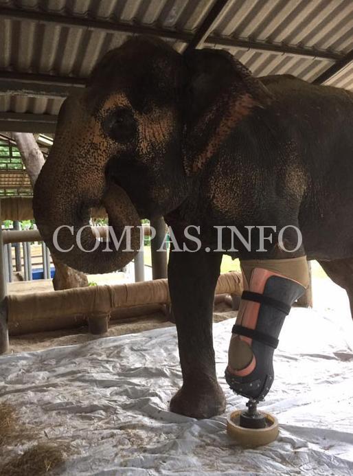 Слонихе установили самый большой протез3
