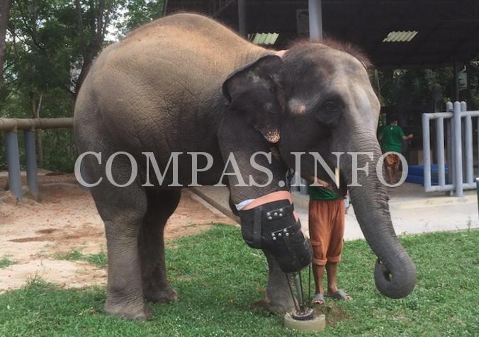 Слонихе установили самый большой протез4