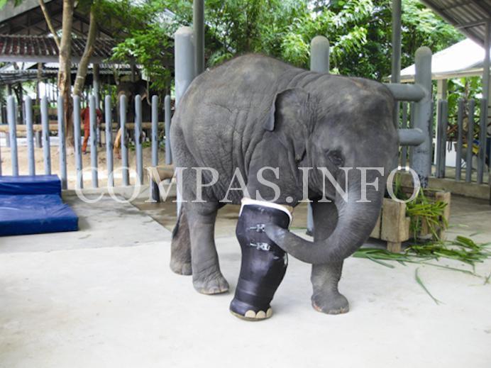 Слонихе установили самый большой протез5