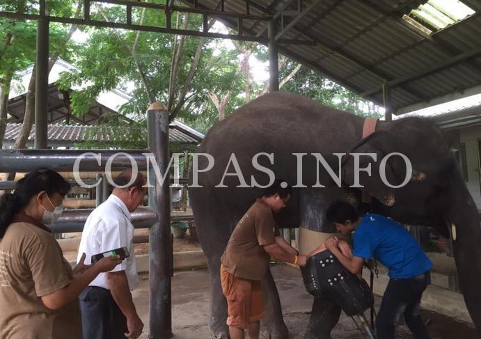 Слонихе установили самый большой протез9