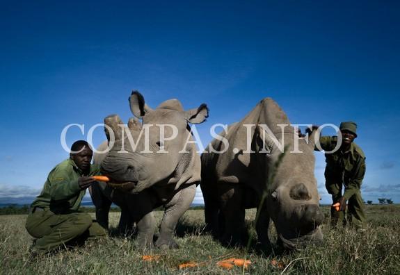 najin-fatu-rhino