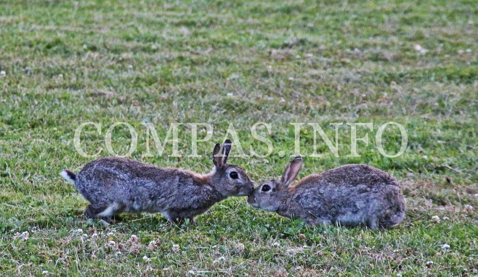 wild-rabbit-378510_960_720
