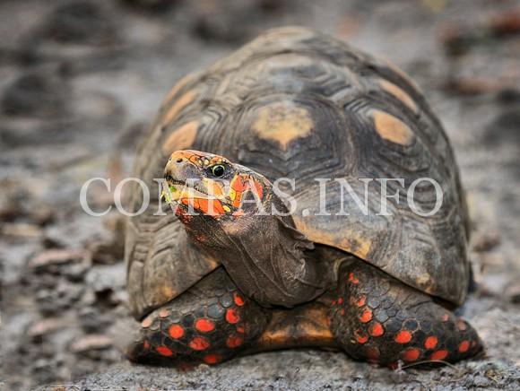red-foot-tortoise