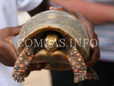 red-footed-tortoise1-jpeg-400x300_q90_crop-smart