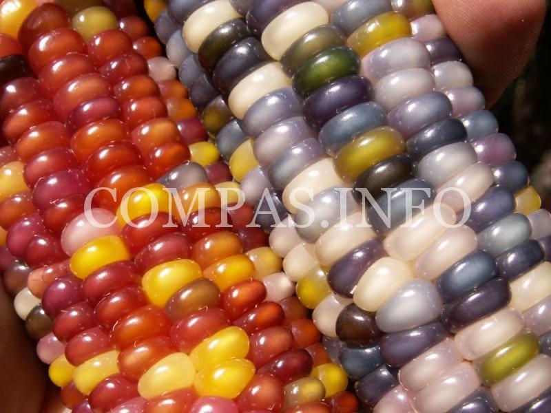 corn2-e1454947666523