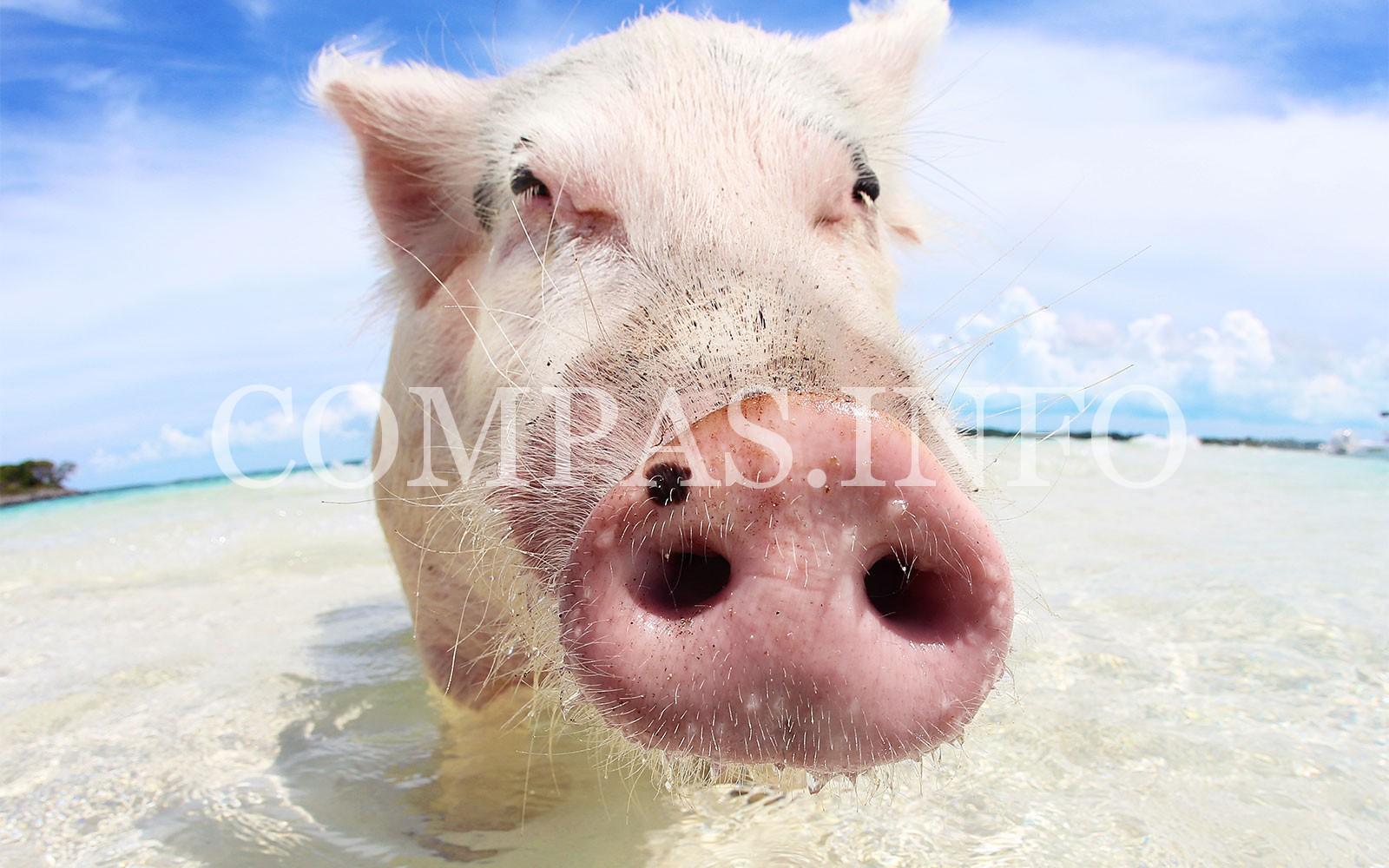 pigs0515-4