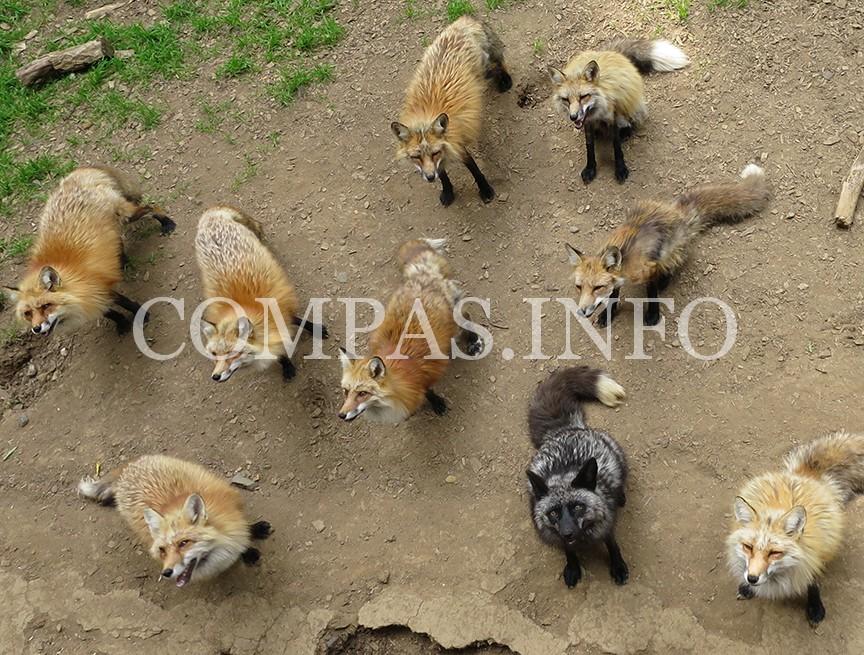 foxvillagemany