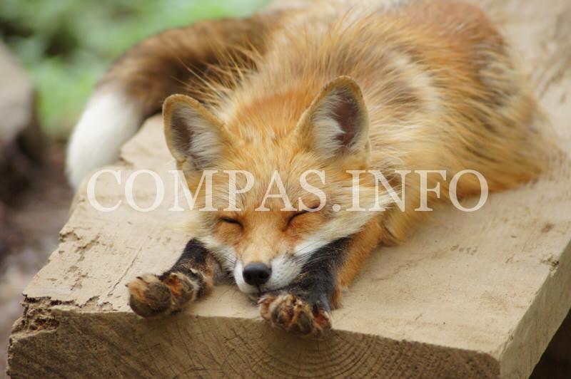 zao-fox-village7